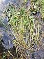 Sagittaria sagittifolia sl1.jpg