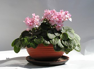 Houseplant - Saintpaulia is a commonly used as a decorative houseplant.
