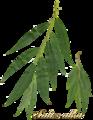 Salix alba scanned leaves2.png