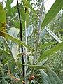Salix lemmonii (5027510738).jpg