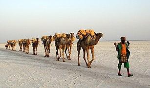 Salt transport by a camel train on Lake Assale (Karum) in Ethiopia.jpg