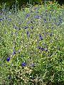 Salvia coahuilensis BotGardBln07122011F.JPG