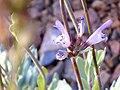 Salvia oxyodon FlowersCloseup 2009July25 HoyaPedraza SierraNevada.jpg