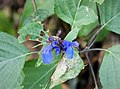 Salvia species - Flickr - gailhampshire.jpg