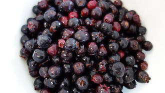Amelanchier alnifolia - Saskatoons picked near Wainwright, Alberta.