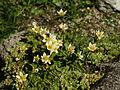Saxifraga bryoides (habitus).jpg