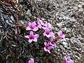 Saxifraga oppositifolia - Izoard.jpg