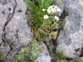 Saxifraga paniculata a2.jpg