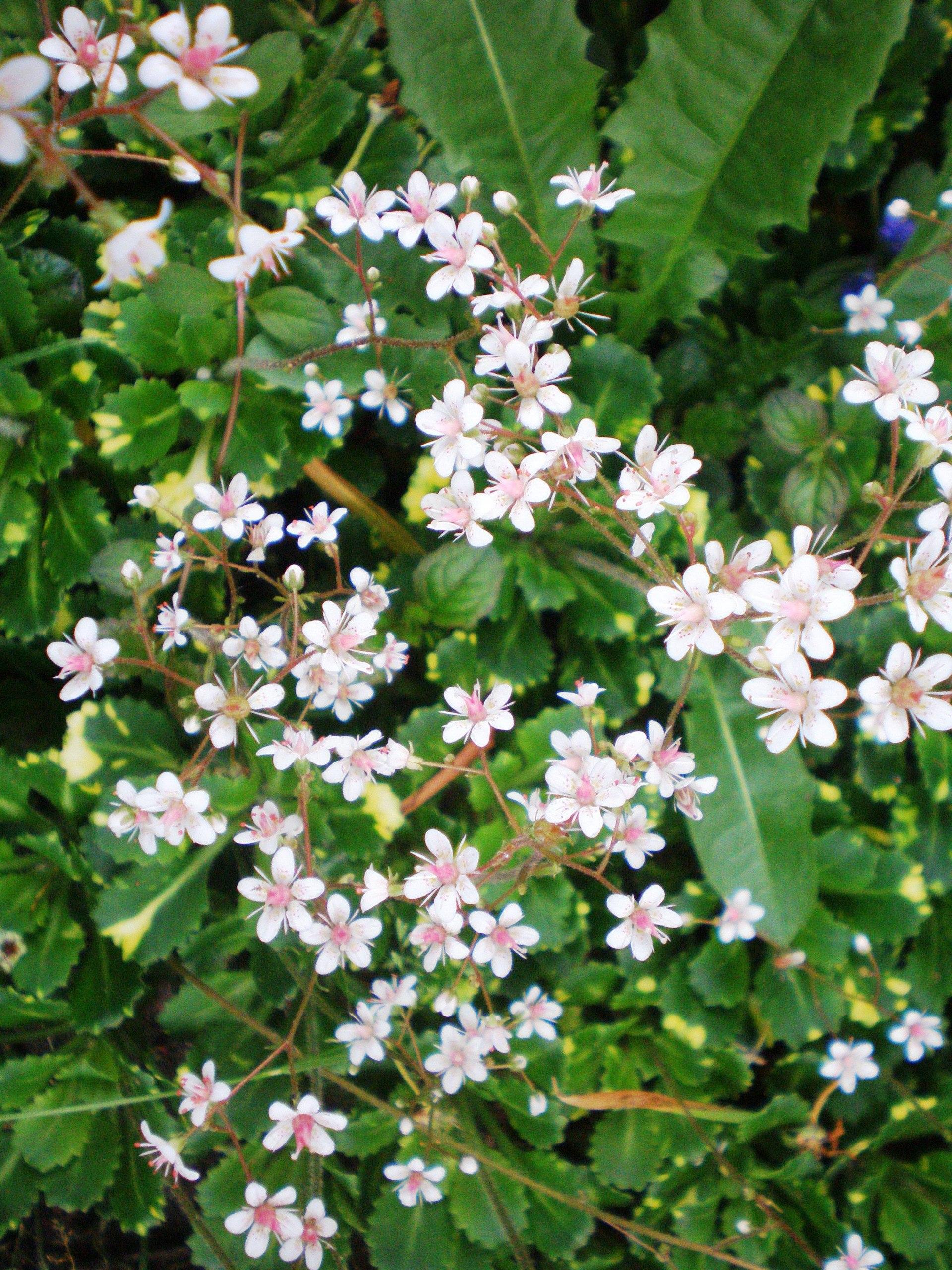 Saxifraga × urbium - Wikipedia