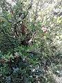 Saxifragales - Ribes uva-crispa - 1.jpg
