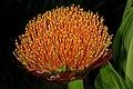 Scadoxus puniceus 1DS-II 4822.jpg