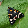 Scarlet Tiger Moth. Callimorpha dominula (48017965396).jpg