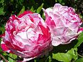 Scentimental Rose Variety (4426883610).jpg