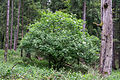 Schlangen - 2014-05-26 - LIP-066 - Sambucus nigra (1).jpg