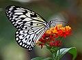 Schmetterling Weisse Baumnymphe (Idea leuconoe) 2011 1455BEWI.jpg