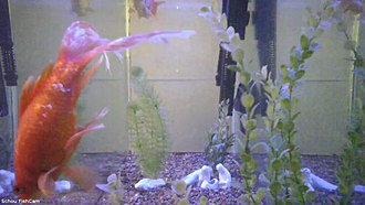 Streaming media - A still from a live stream of a fish tank, Schou FishCam