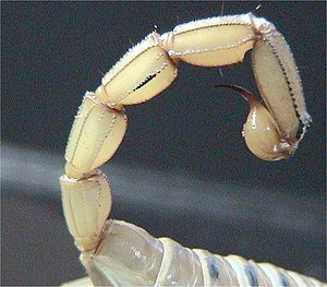 Tail of a scorpion