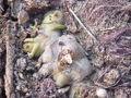 Scrophularia nodosa2.jpg