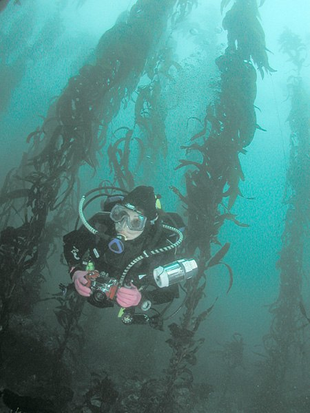 Scuba diver in kelp forest