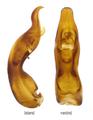 Scydmaenus tarsatus Mueller, P.W.J. & Kunze, 1822 Genital.png