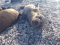 Sea lion pups in Las Loberias, Galapagos Islands 4.jpg