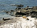Seals at the Bight of Scarma - geograph.org.uk - 1086390.jpg