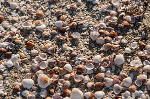 Seashell - Mixed shells on a beach in Venezuela
