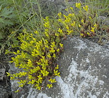 Sedum acre on rock.jpg