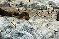 Seeloewen beagle 1.jpg