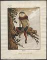 Semnopithecus nemaeus - 1700-1880 - Print - Iconographia Zoologica - Special Collections University of Amsterdam - UBA01 IZ19900035.tif