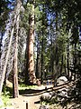 Sequoia Tree - panoramio.jpg