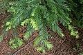Sequoia sempervirens 06.jpg