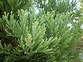 Sequoiadendron giganteum 2c.JPG
