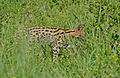 Serval (Leptailurus serval) in the grass (16579570461).jpg