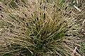 Sesleria-caerulea-habitus.jpg