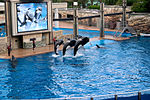Orcas perform at Shamu Stadium at SeaWorld in Orlando, Florida.