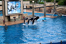 Three orcas jumping at a trainer's command in an artificial pool, while being shown on a big screen television