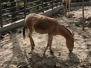Mongolian wild ass - A Mongolian wild ass at Shanghai Zoo, China.
