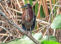 Shark Valley..bird Paradise W of Miami...Green Heron (Butorides virescens)... (26360788874).jpg