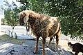 Sheeps at Athmuqam.JPG