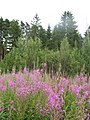 Sheremetyevo forest. Fireweed. July 2010. - Шереметьевский лес. Иван-чай узколистный. Июль 2010. - panoramio.jpg
