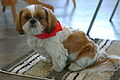 Shih Tzu with his bandana.jpg