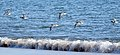 Shorebirds (9154177362).jpg