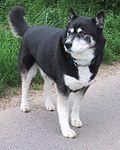 Siberian husky2.jpg