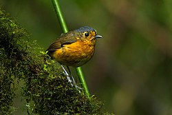 Slate-crowned Antpitta - Colombia S4E1919.jpg