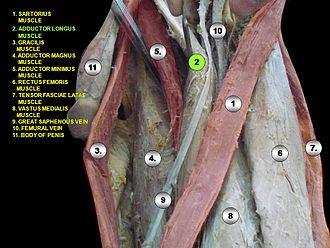 Adductor longus muscle - Image: Slide 2rrr
