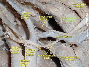 Styloglossus - Image: Slide 8aaa