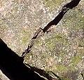 Slink in Rock, Company Mill Trail Umstead NC SP 5687 (4596395829).jpg