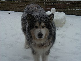 Snow covered malamute.JPG
