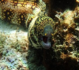 Snowflake moray in kona close up.jpg